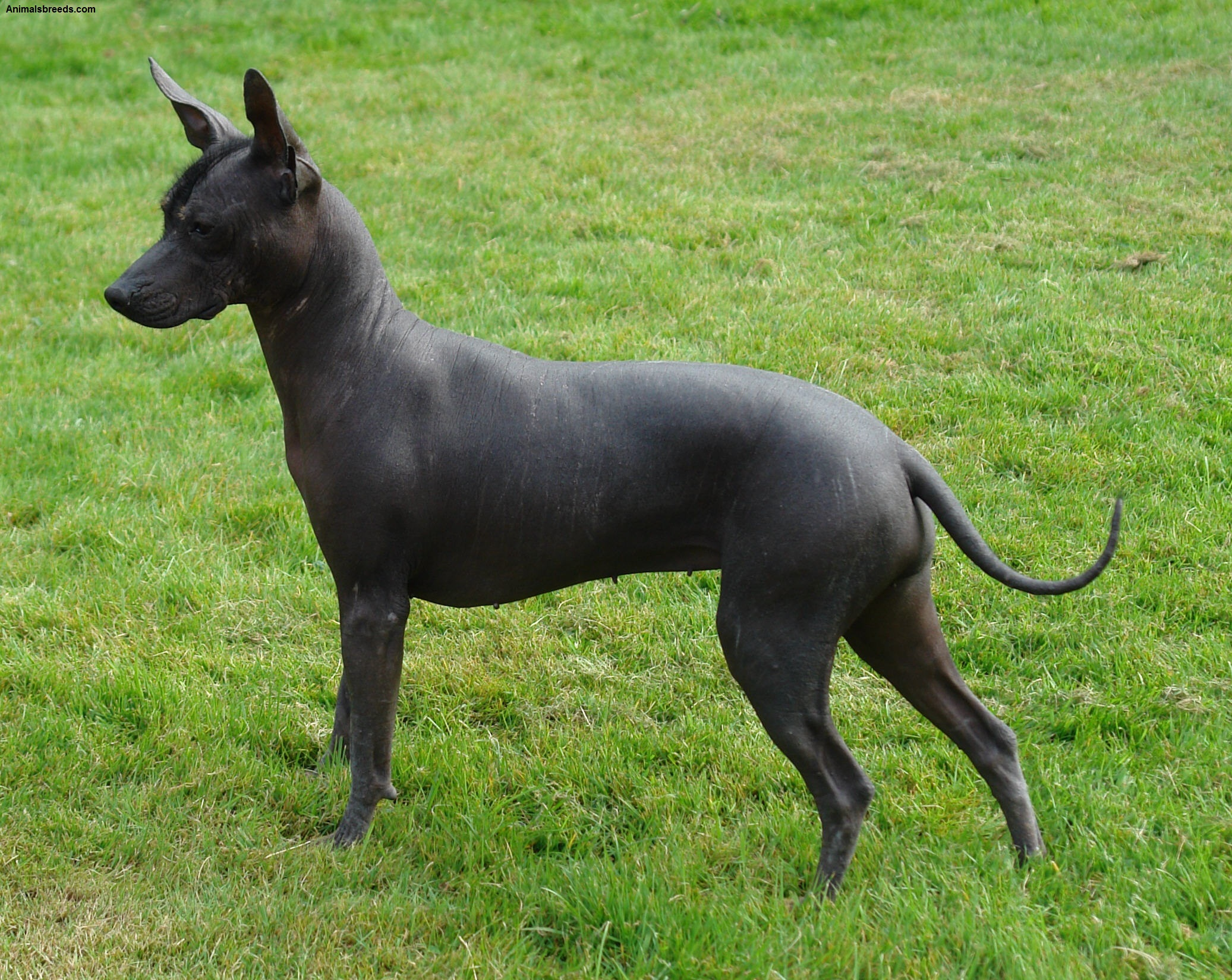 Xoloitzcuintli Dog Breed (Mexican Hairless Dog) - Pictures ...