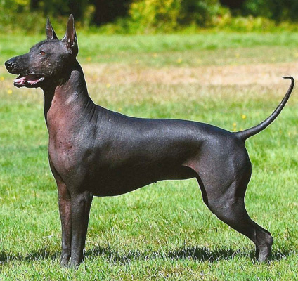 Xoloitzcuintli Dog Breed Mexican Hairless Dog Pictures