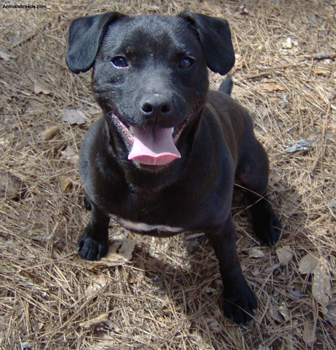 What do Staffordshire bull terriers look like  Quora