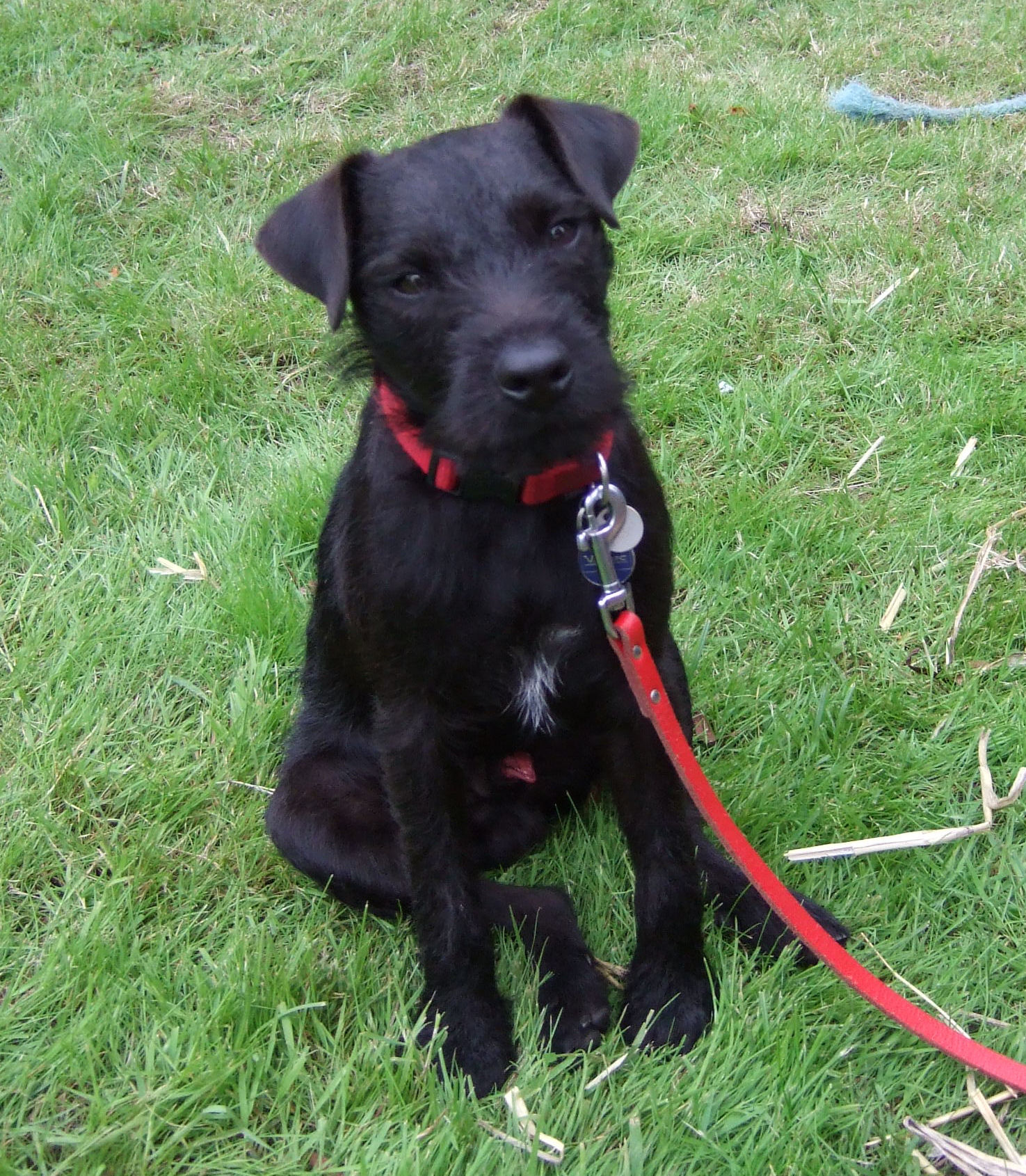 Patterdale Terrier Dog Breed - Pictures, Information, Temperament ...