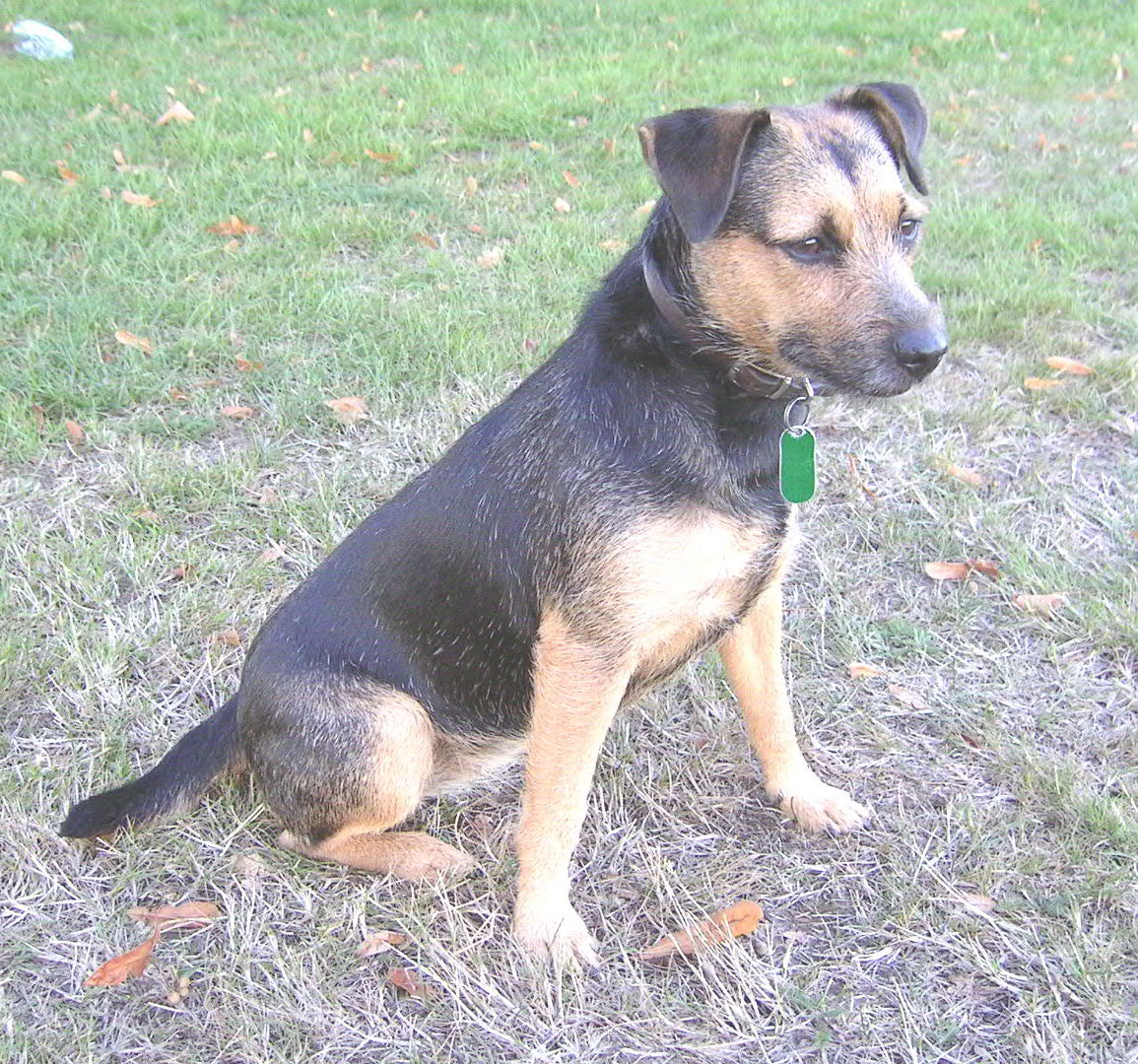 Patterdale Terrier Dog Breed Pictures Information