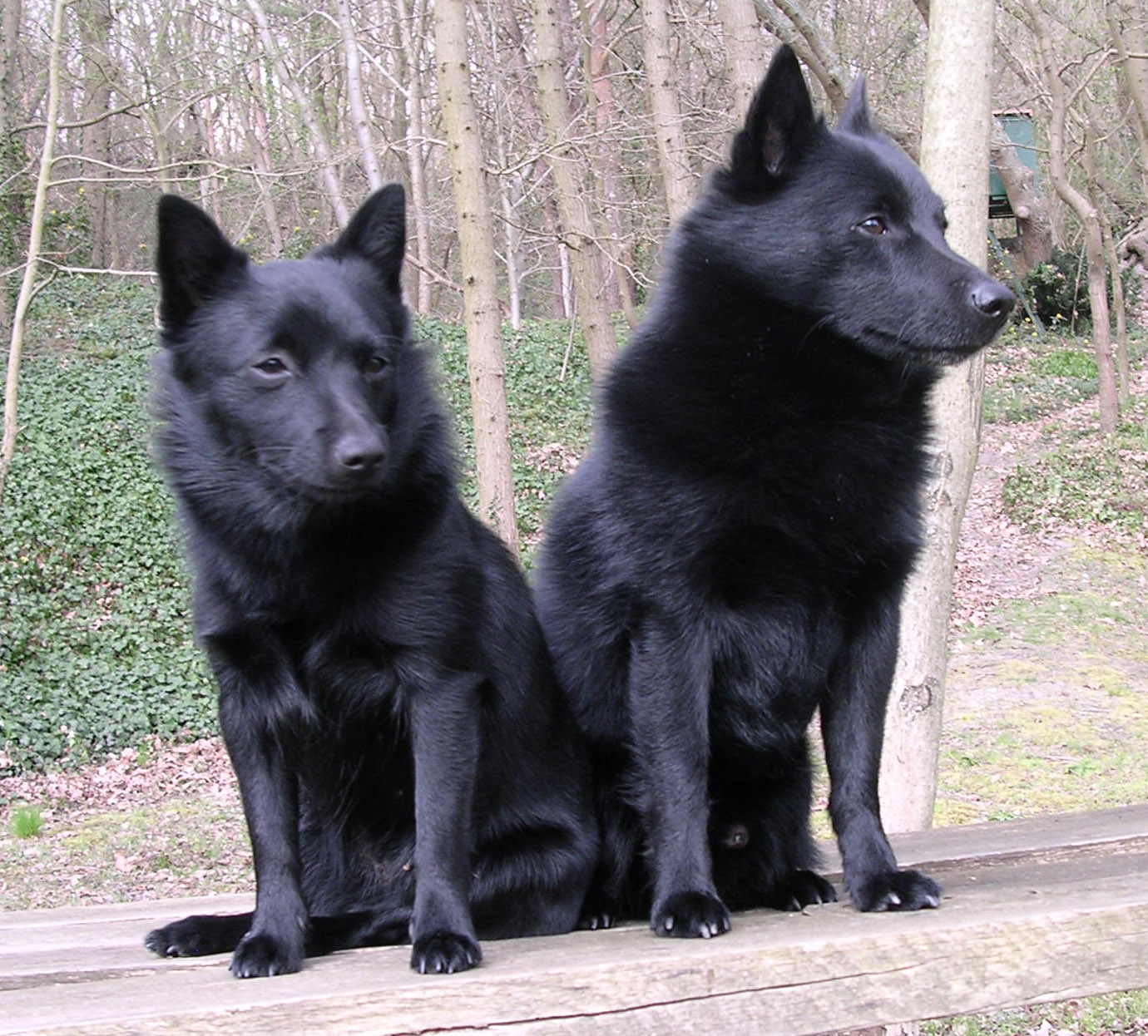 Schipperke Dog Breed Pictures Information Temperament