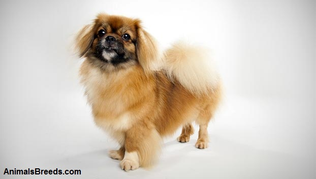 Best Food For Puppies >> Tibetan Spaniel Dog Breed - Pictures, Information, Temperament, Characteristics | Animals Breeds