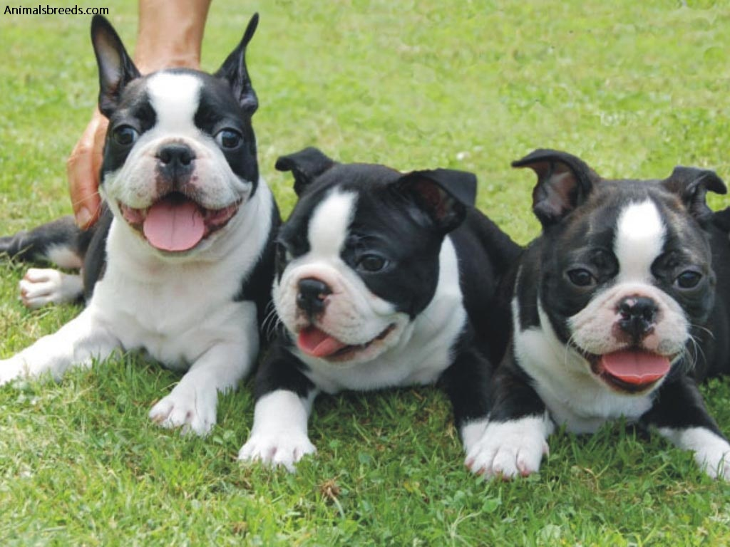 Best Dog Food For Boston Terrier Puppies