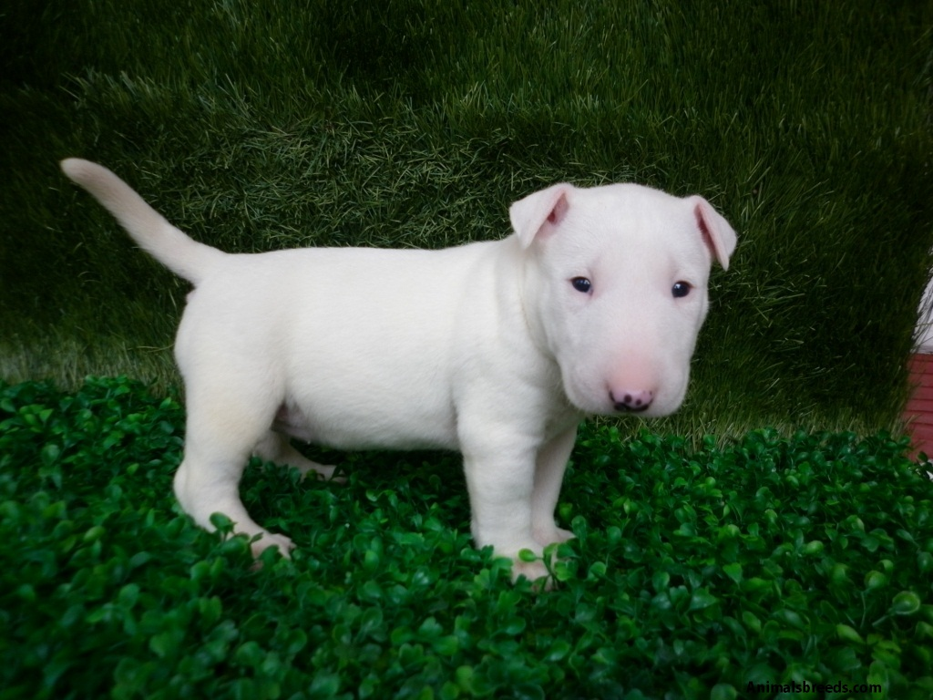 Miniature Bull Terrier - Pictures, Information