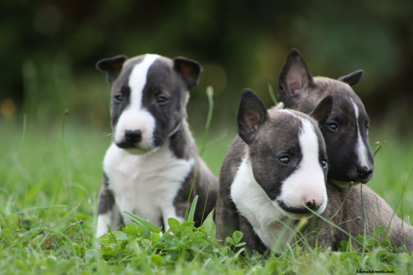 miniature bull terrier pictures information