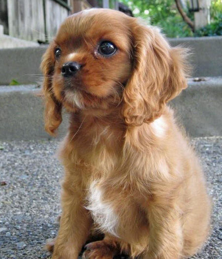 Cavalier King Charles Spaniel Pictures Information