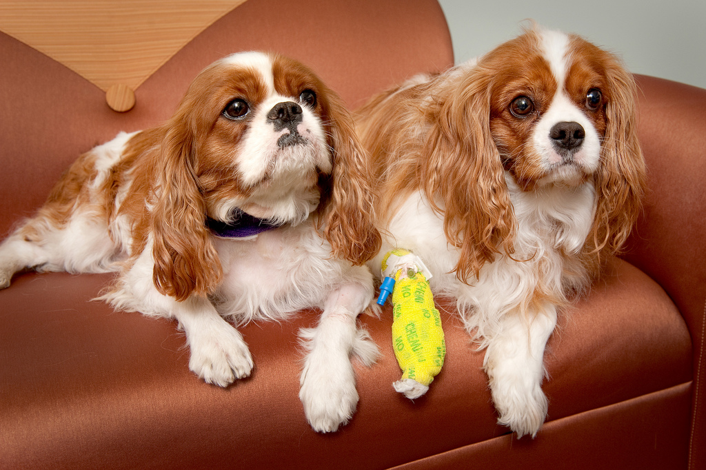 Cavalier King Charles Spaniel - Pictures, Information ...