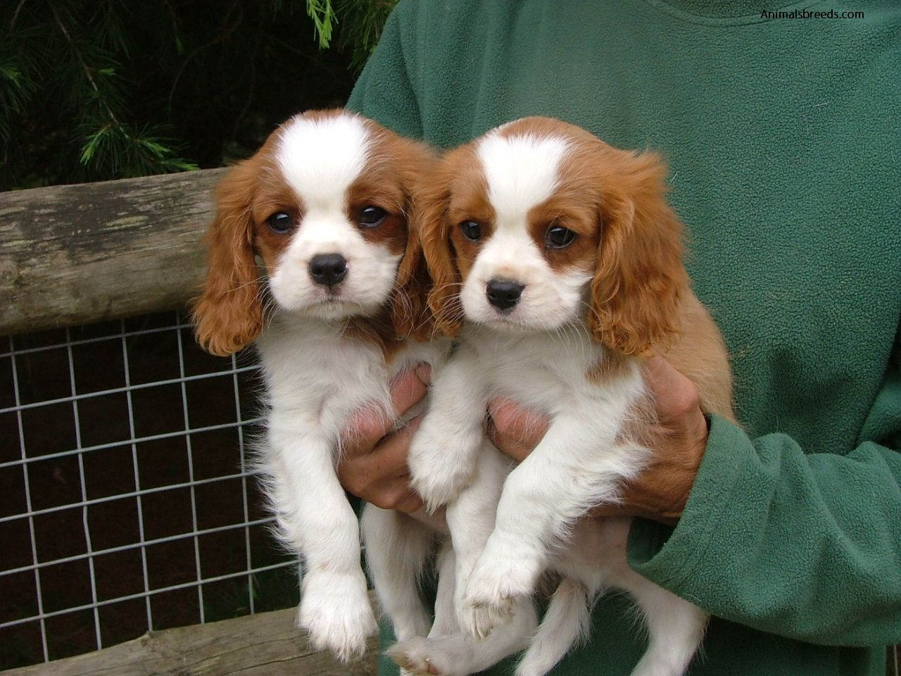 cavalier king charles spaniel   pictures information temperament