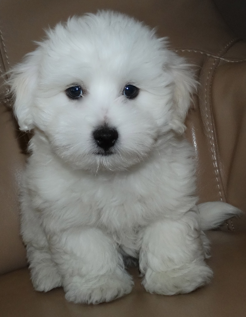 Coton De Tulear Dog Breed - Pictures, Information ...