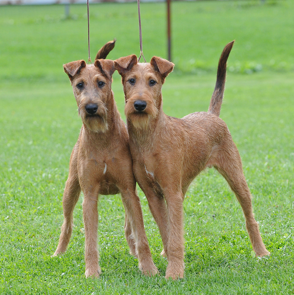 Irish Terrier Breed Information | Dog Breeds Picture