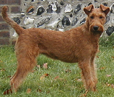 Irish Terrier - Pictures, Information, Temperament, Characteristics ...