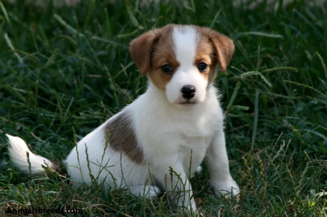 Jack Russell Terrier / Parson Russell Terrier
