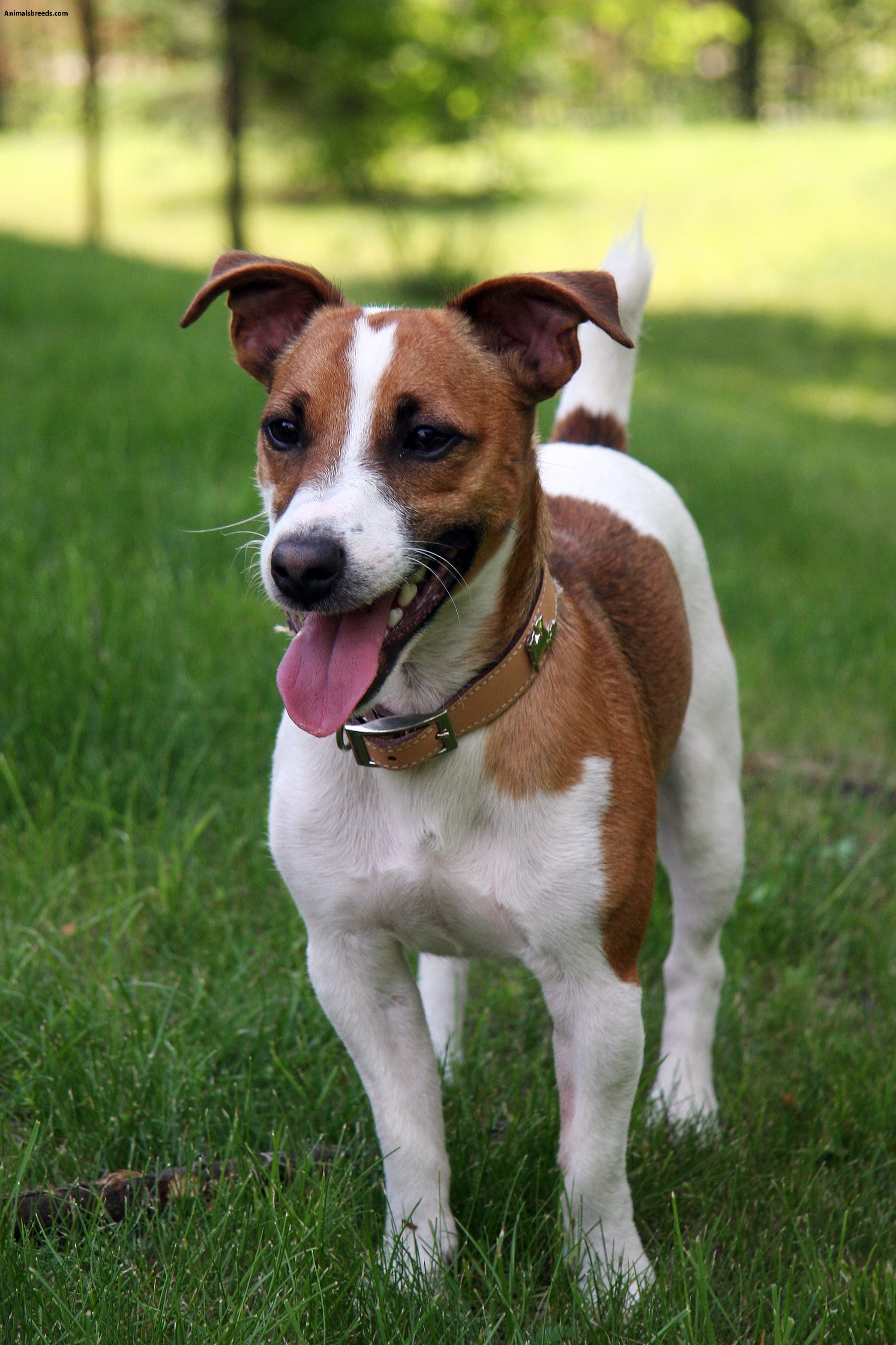 Best Dog Food For Jack Russell Dog