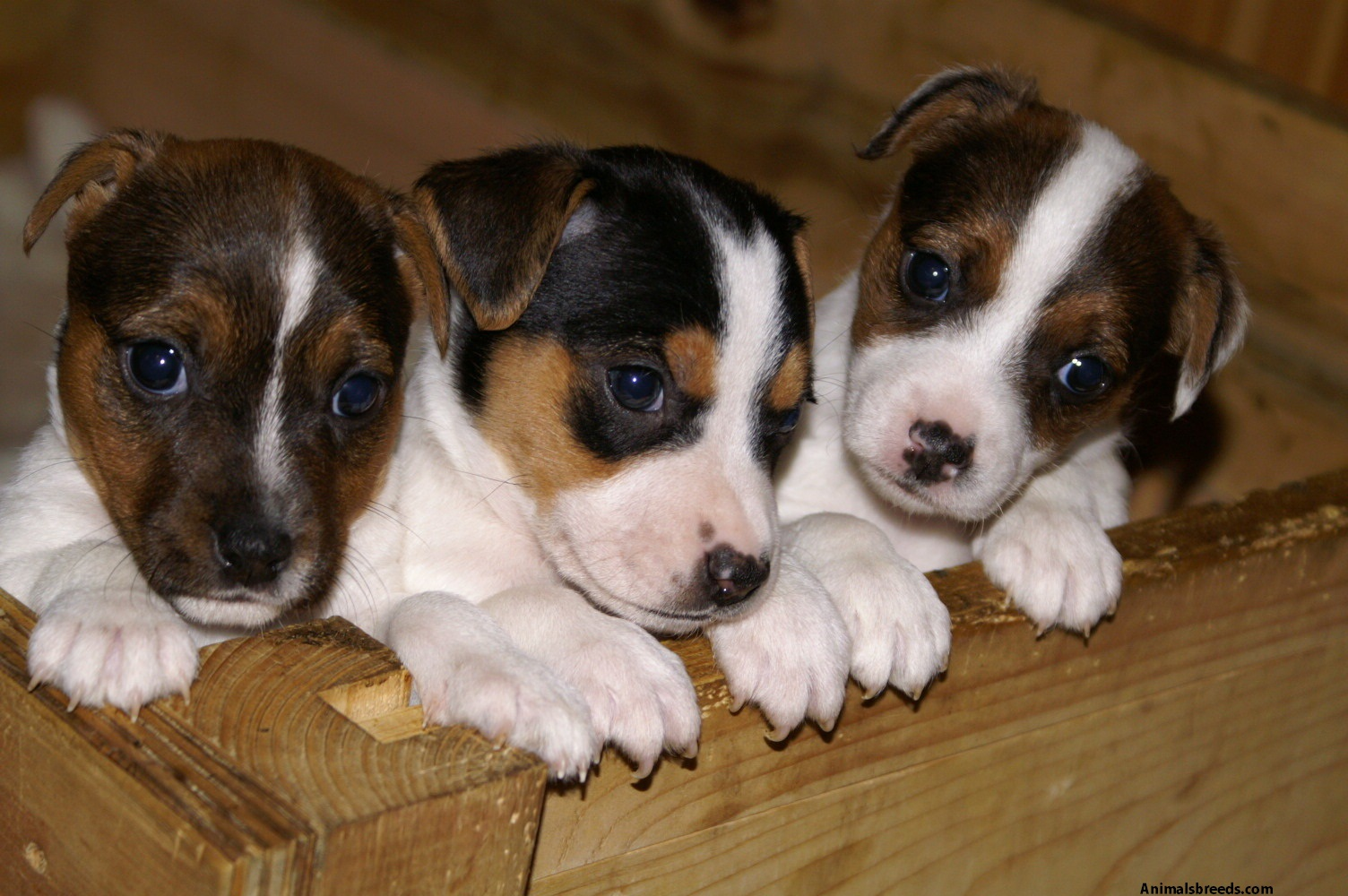 Jack Russell Terrier Pictures Information Temperament