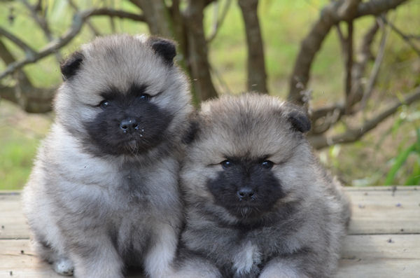 Keeshond Rescue Keeshond - Pict...