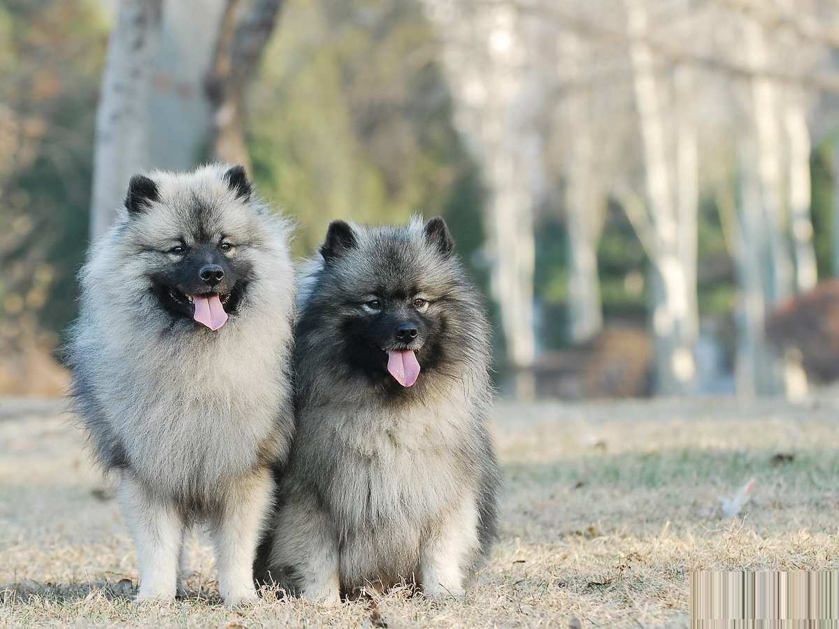 Keeshond - Pictures, Information, Temperament ...