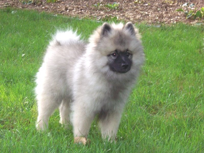 Best Dog Food For Keeshond