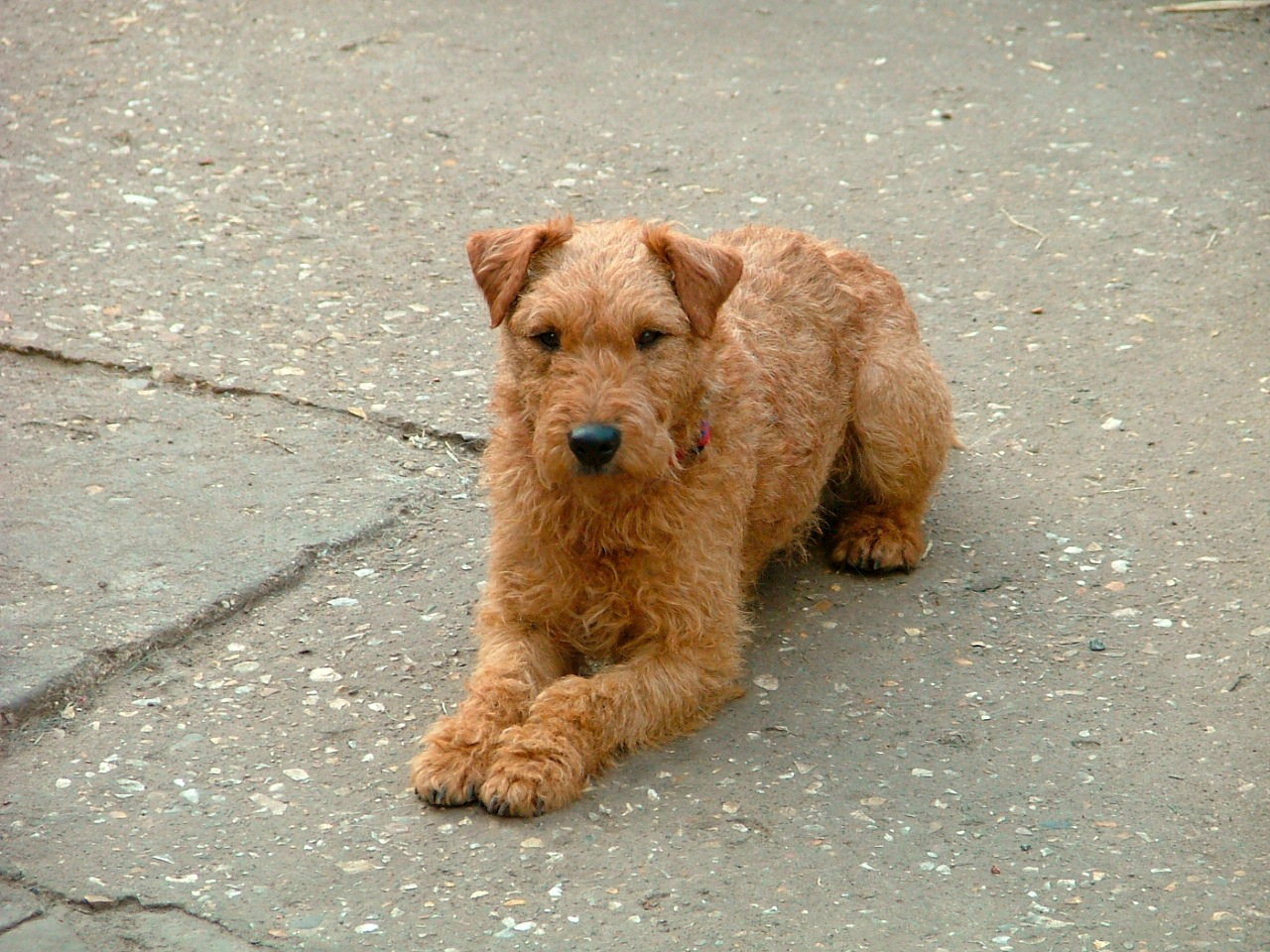Lakeland Terrier Dog Breed - Pictures, Information ...