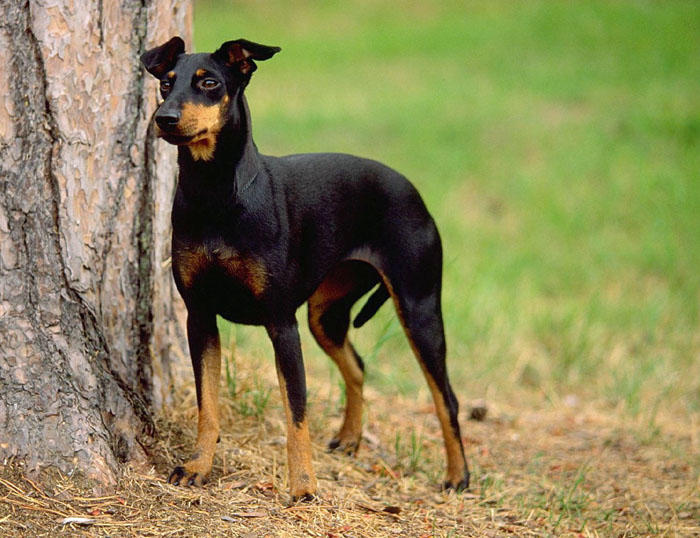 manchester toy terrier - photo #43