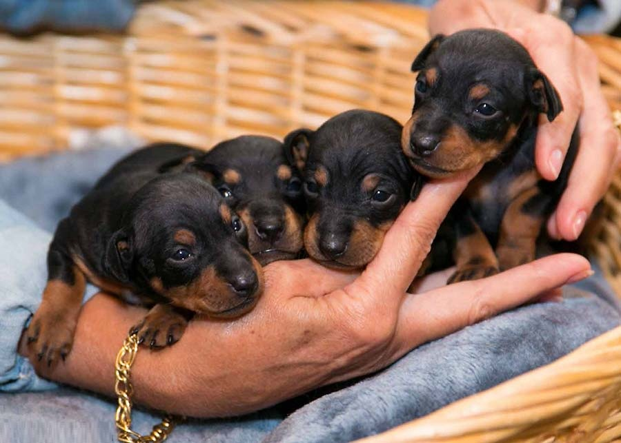 Manchester Terrier Dog Breed Pictures Information