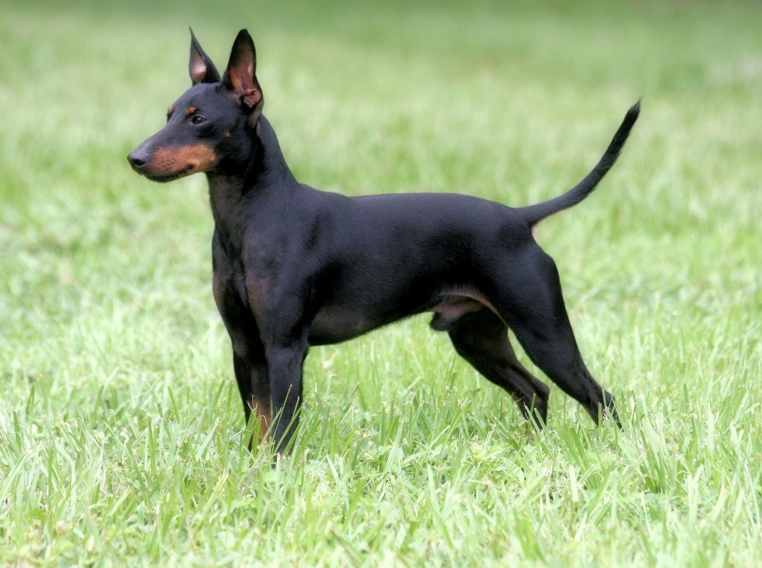 manchester toy terrier - photo #40