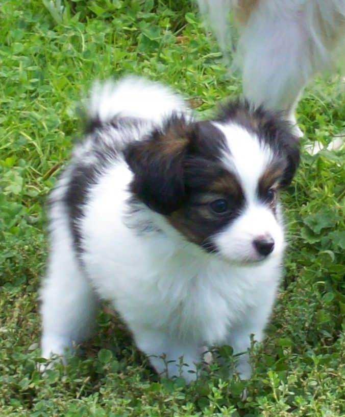 Papillon Dog Breed  Pictures, Information, Temperament