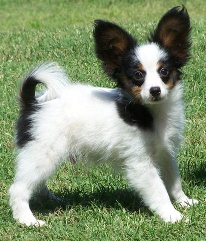 Papillon Dog Breed - Pictures, Information, Temperament ...