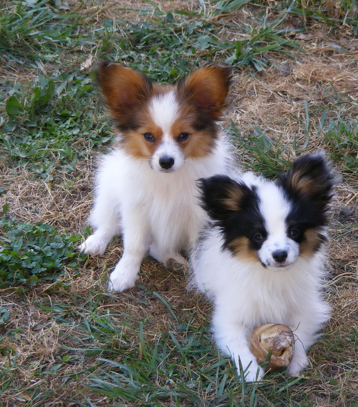 Papillon Puppies For Sale From Reputable Dog Breeders Puppy