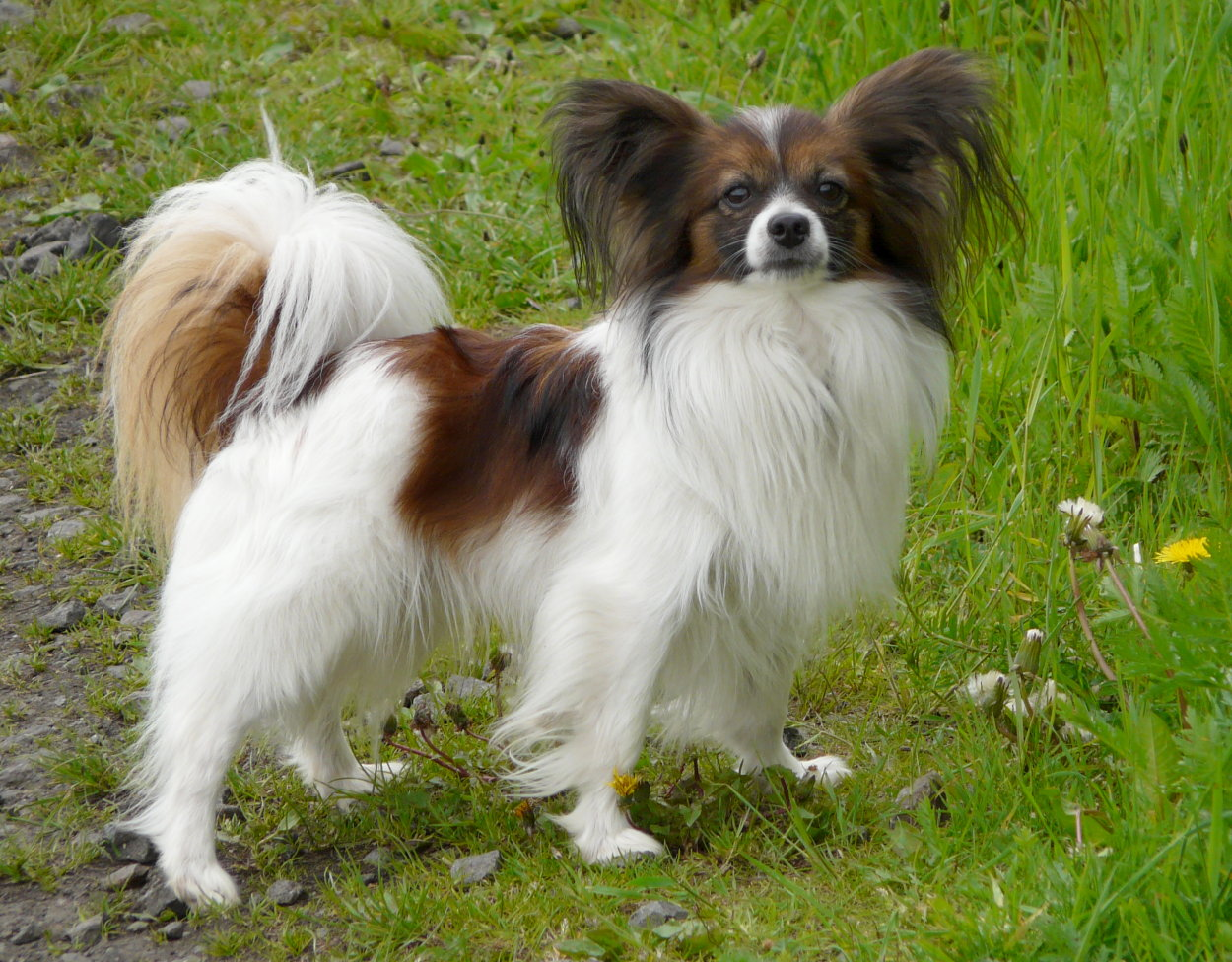 Papillon Dog Breed Pictures Information Temperament Characteristics Animals Breeds