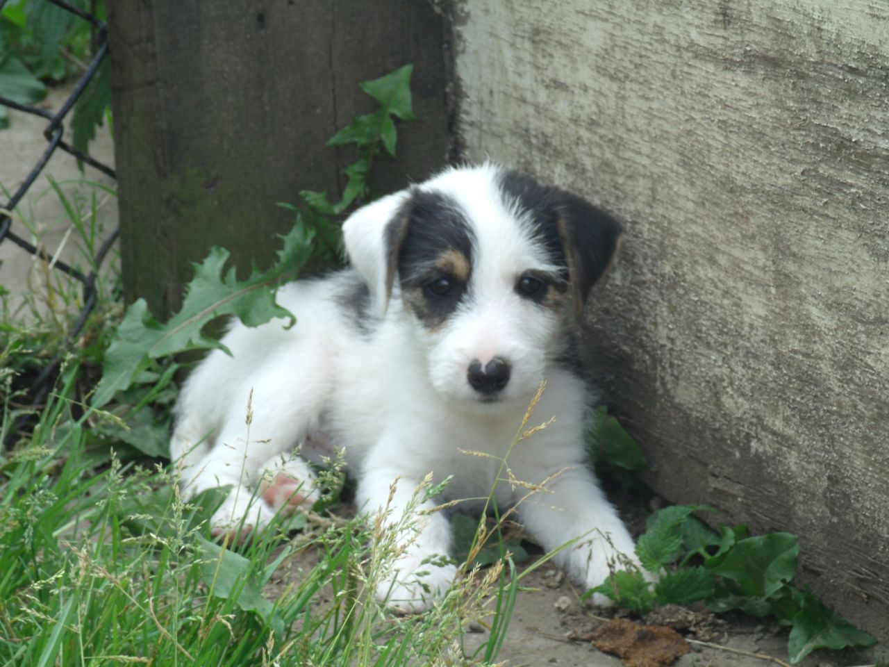 Parson Russell Terrier - Puppies, Pictures, Information ...