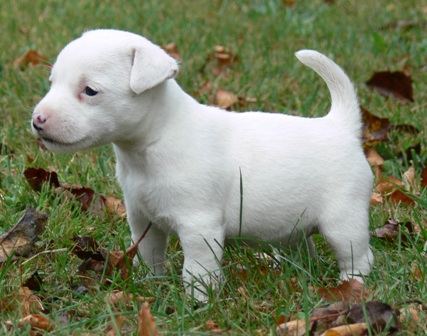 Parson Russell Terrier White Parson Russell Terrier