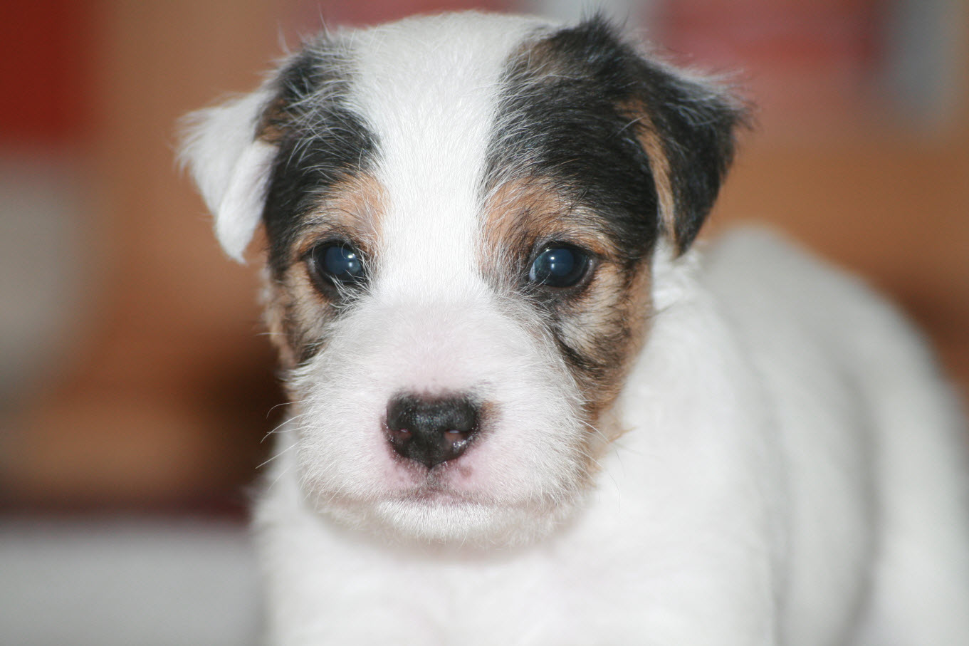 Parson Russell Terrier Growth Pin Dog Skin Diseases ...