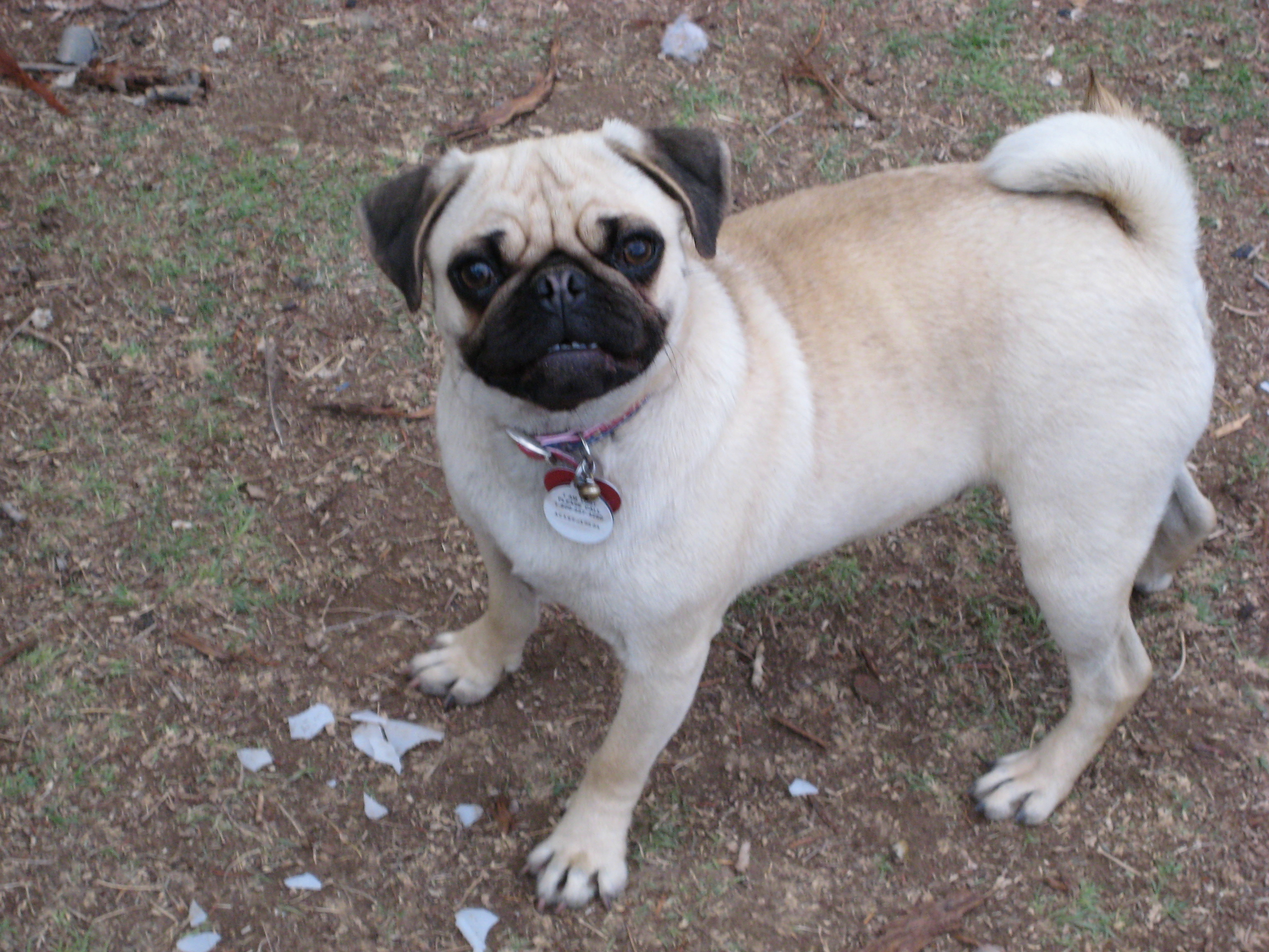Chinese Name For Pug Dogs