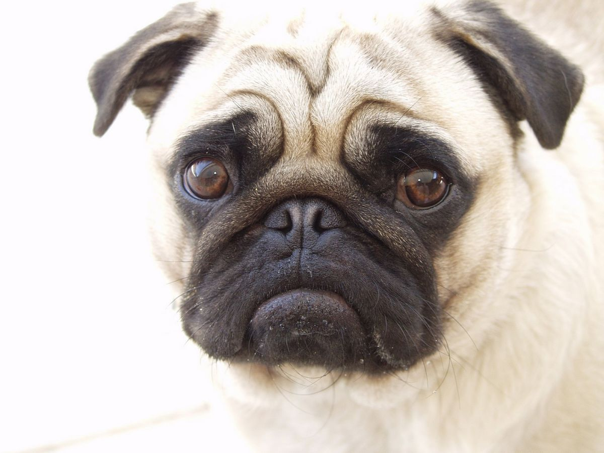 pugs breed essay Akc registration papers are also sent home with your puppy i have lots of tips for potty training because pugs can be stubborn, and a well trained pug is a happy pug i want you to buy a pug, but only if it's right for you.