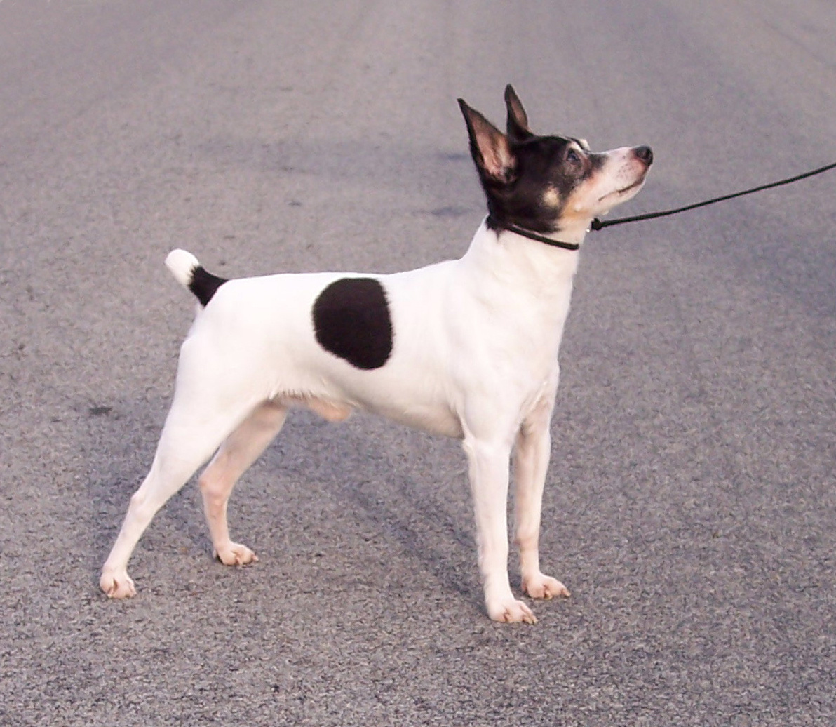 Toy Terrier Small Dogs : Toy fox terrier pictures information temperament