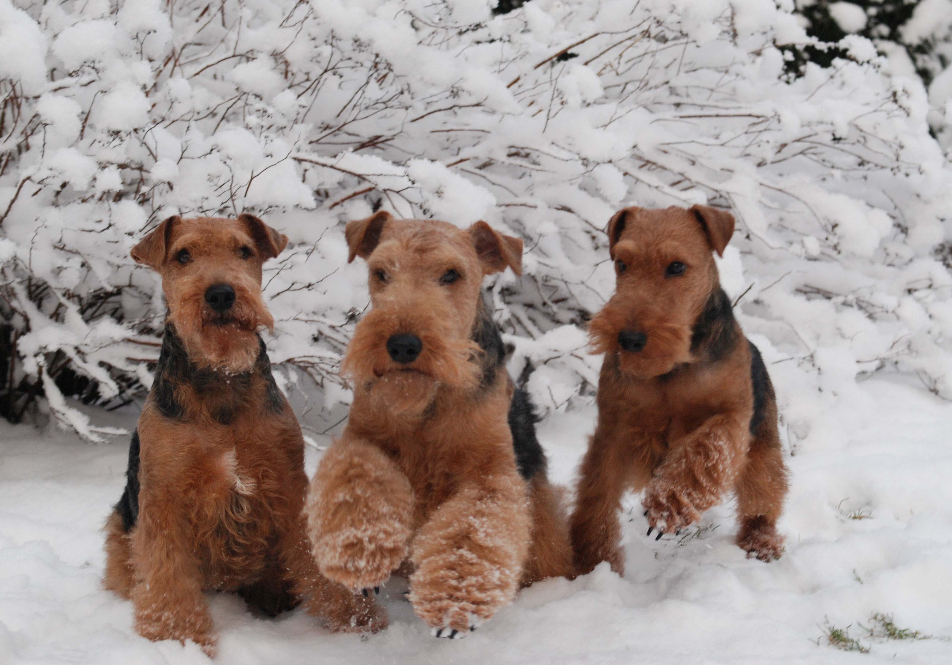 Welsh Terrier Pictures Information Temperament