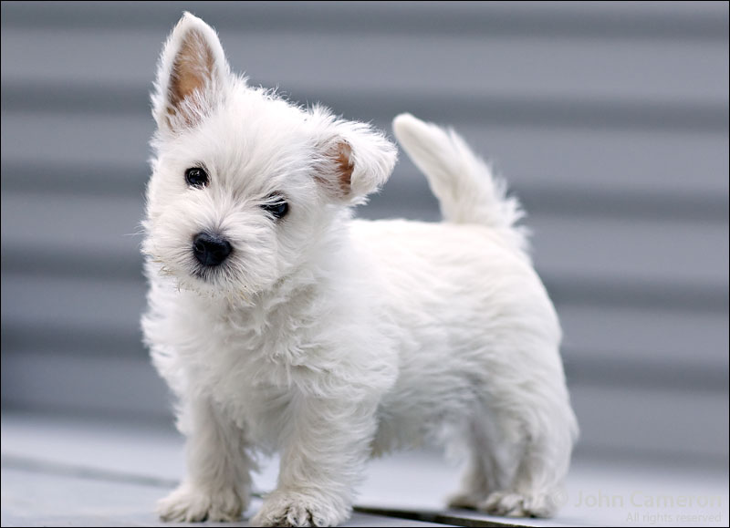 West Highland White Terrier Dog Breed - Pictures ...