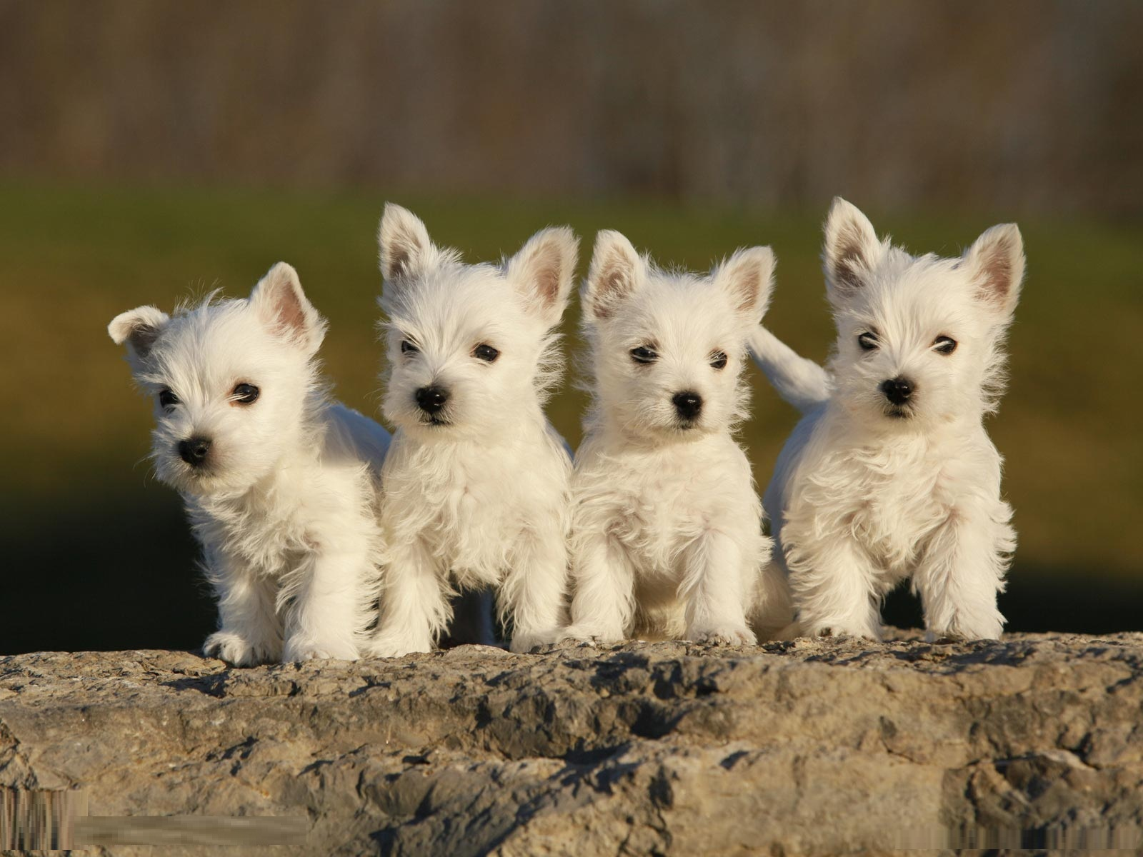 White Cairn Terrier Puppy West Highland White Te...