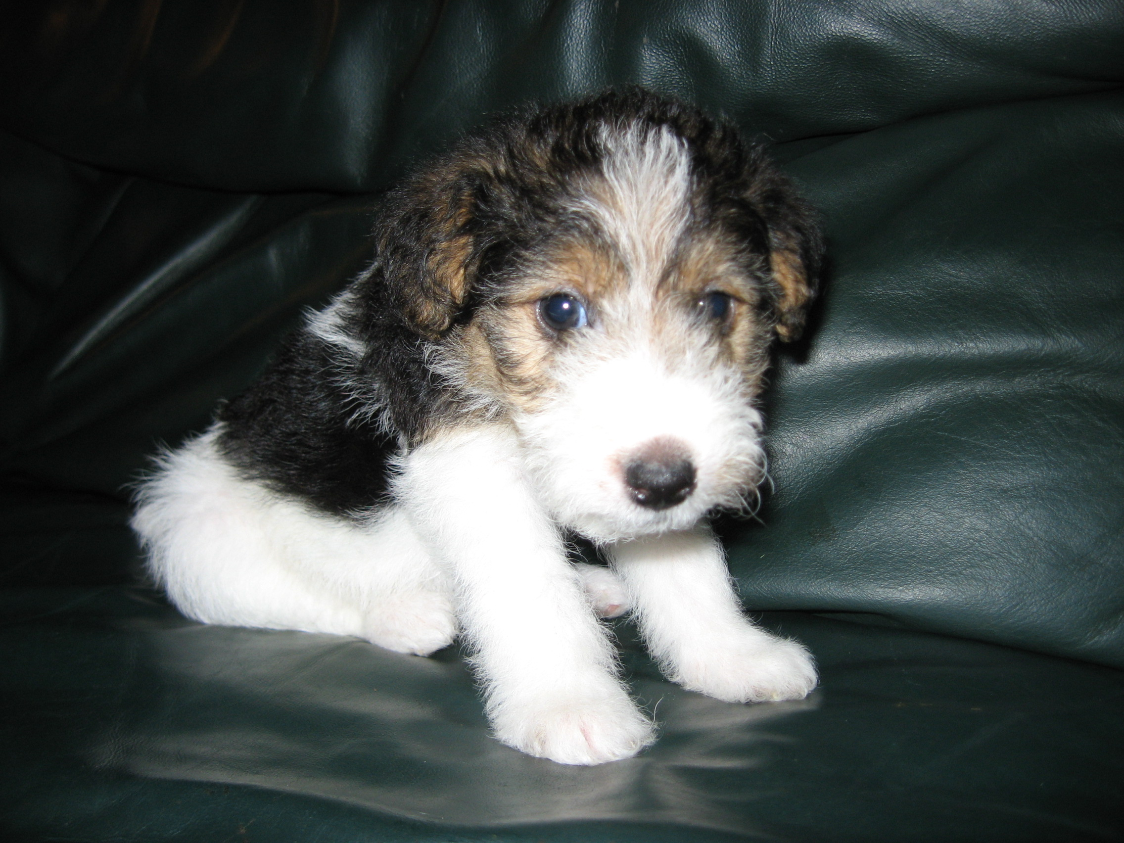 Traits of a mini fox terrier