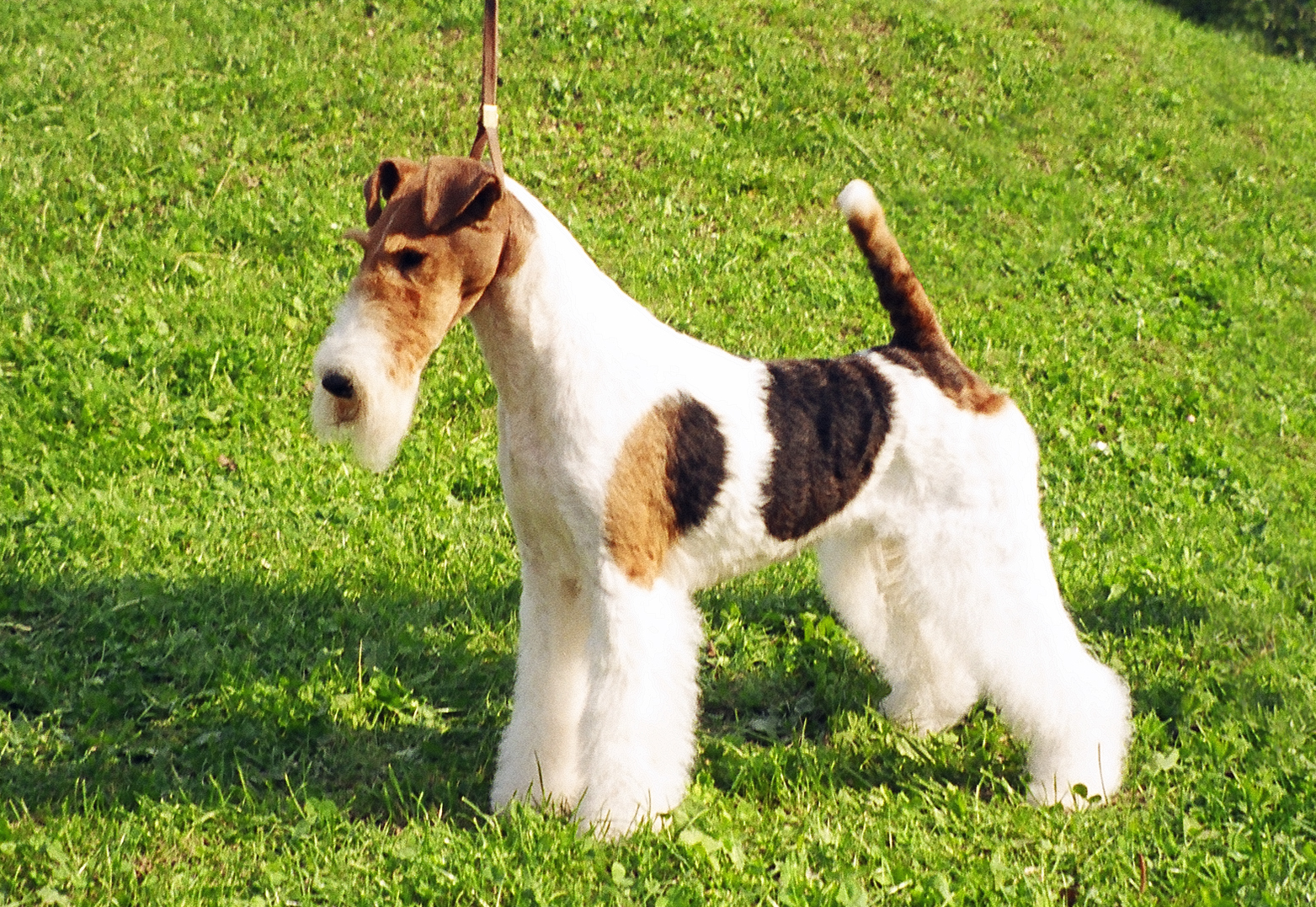 Wire Fox Terrier Pictures Information Temperament