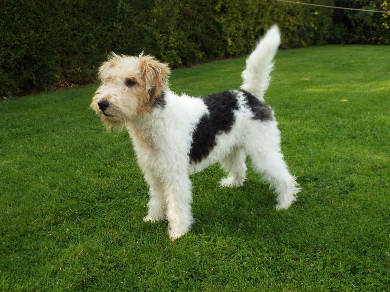 Wire Fox Terrier Pictures, Information, Temperament, Characteristics ...