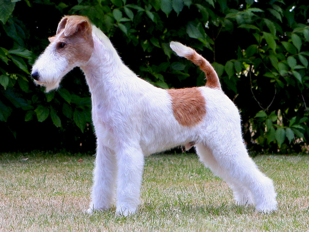 Wire Fox Terrier - Pic...