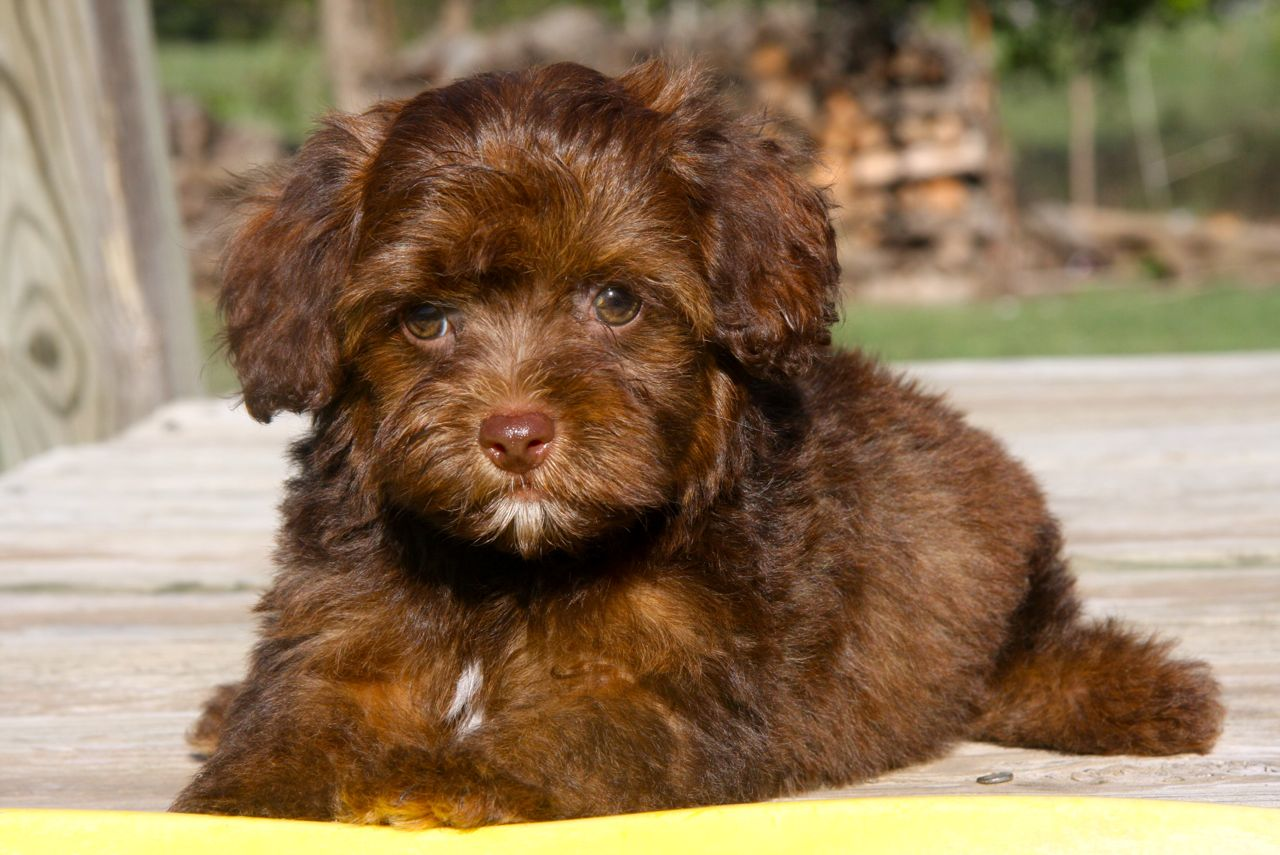 Yorkipoo puppies pictures 2