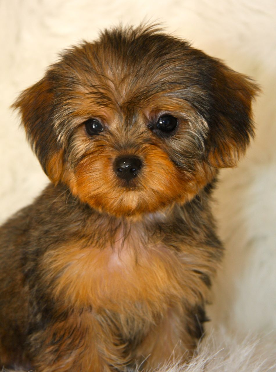 Yorkie Poo - Puppies, Rescue, Pictures, Information, Temperament ...
