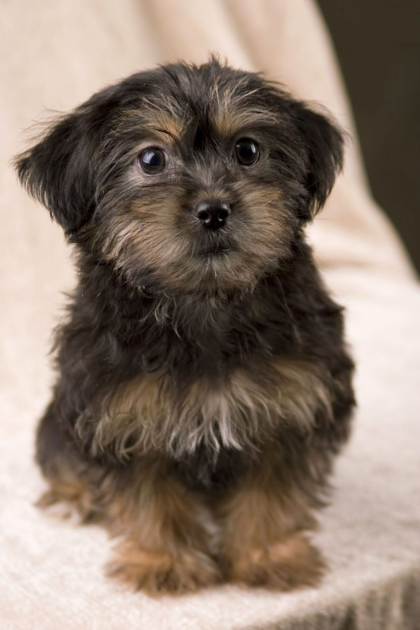 Yorkie Poo - Puppies, Rescue, Pictures, Information ...