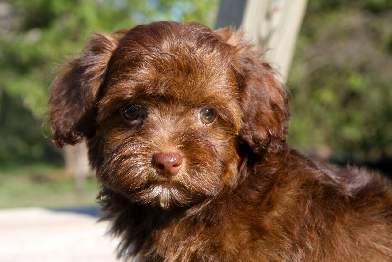 Yorkipoo puppies pictures 3