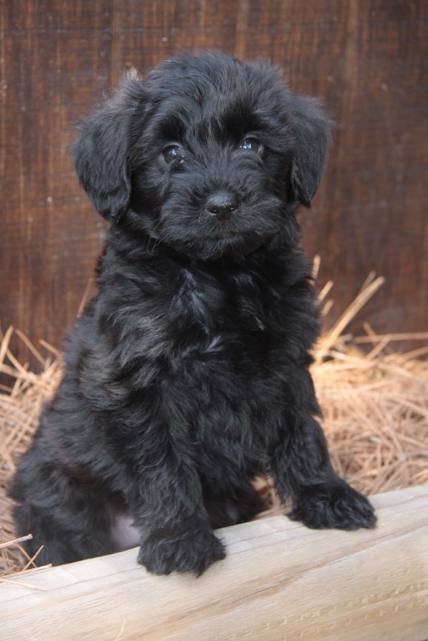Yorkie Poo Puppies Rescue Pictures Information
