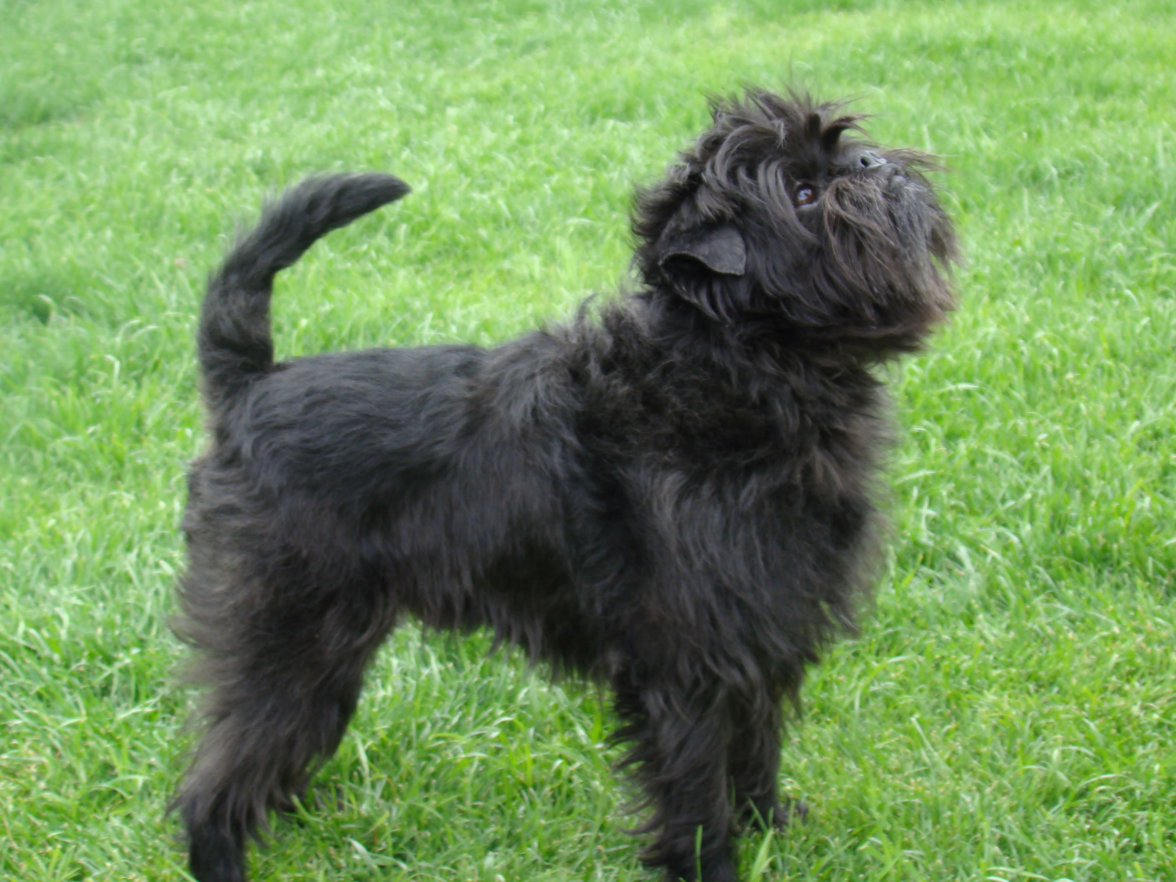 Affenpinscher  Puppies, Rescue, Pictures, Information, Temperament