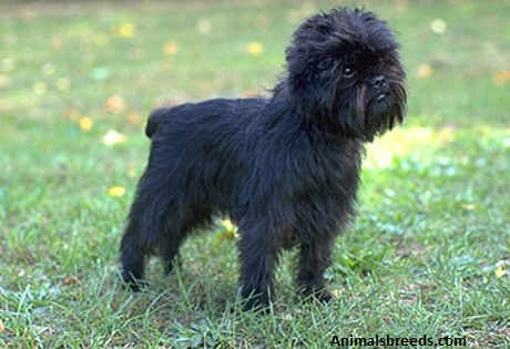 Hypoallergenic Apartment Dog Breeds